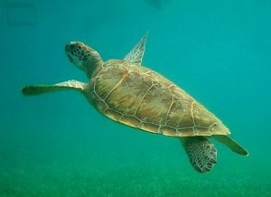 In Belize sea turtles are protected by law
